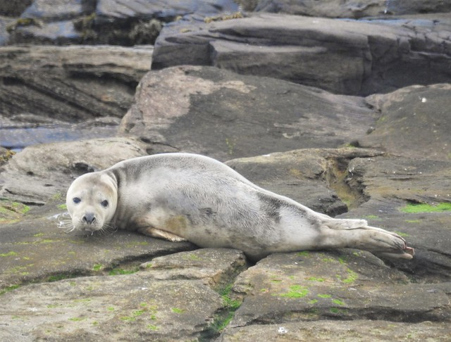 Grey Seal at St. Mary's Island