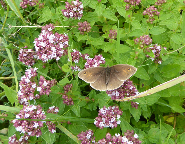 Meadow brown butterfly on wild marjoram