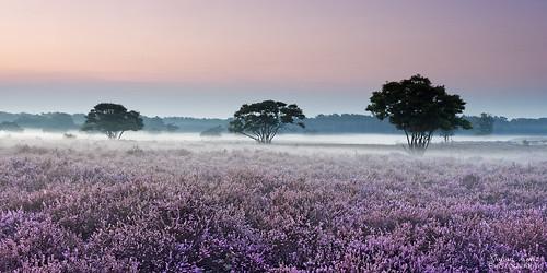 purple heather field zuiderheide hetgooi netherlands outdoor landscape tree sky bluehour justbeforesunrise nikon d7500 fog mist groundmist elitegalleryaoi bestcapturesaoi aoi tgooinaturereserve