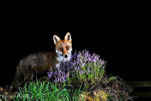Rupert the Red Fox