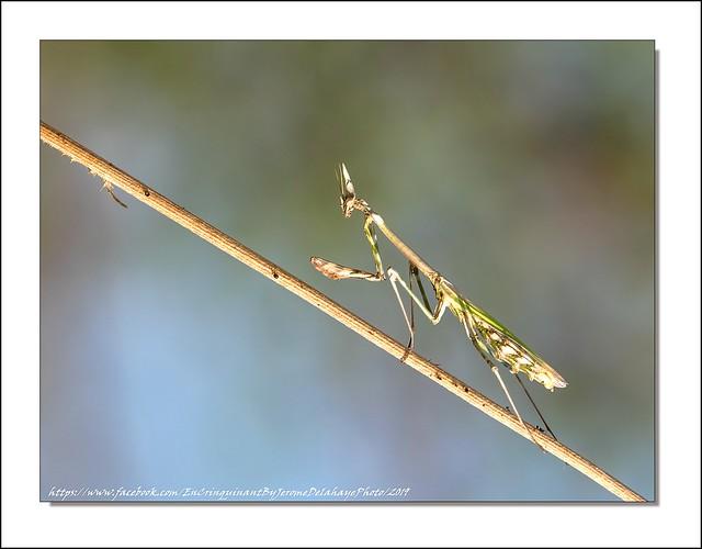 Cet insecte étonnant au faciès d'alien