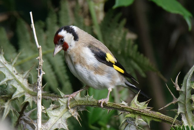 Goldfinch on the branch