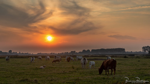Cows do not pay attention to the sunset