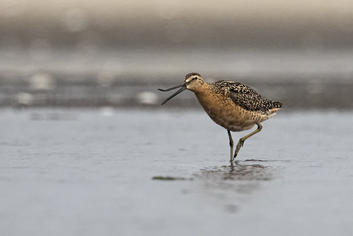 Mecox, NY: Short-billed Dowitcher
