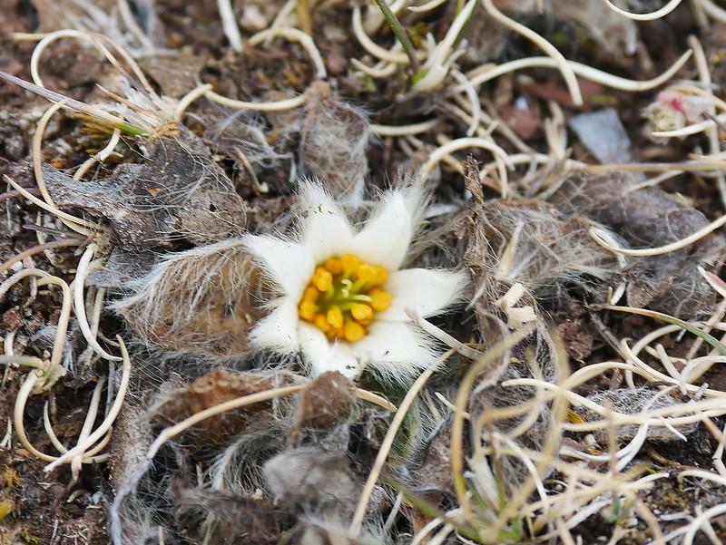 fleur du Pérou 4500m  48637538287_ac9d0c6863_c