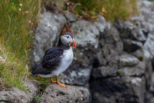 Atlantic Puffin | by llondru