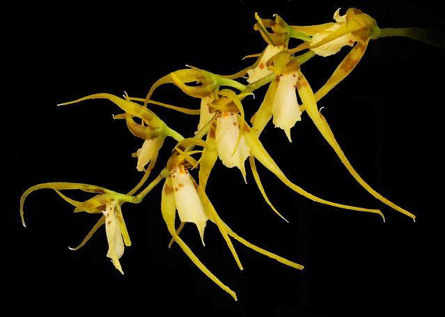 Brassia chloroleuca
