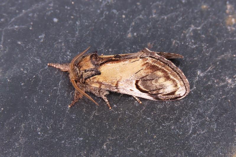 71.013 Pebble Prominent - Notodonta ziczac