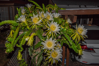 Our Dragonfruit Cactus Flowers in Another Superbloom