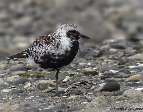 Black-bellied Plover (Pluvialis squatarola) - Milford Point, Milford, Connecticut, USA