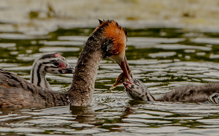 Mother Grebe feeding her cubs | by jamessensor