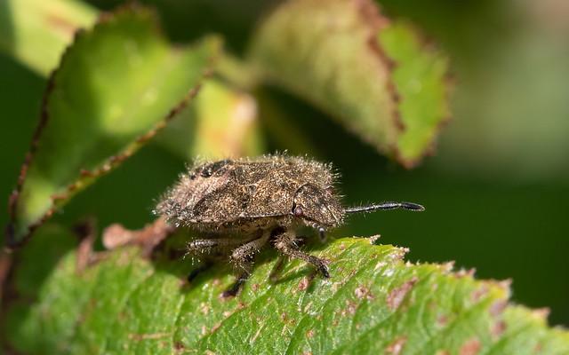Hairy shieldbug late instar nymph
