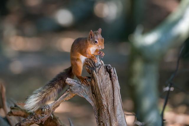 Brownsea Island Squirrels 2508_798-109.jpg