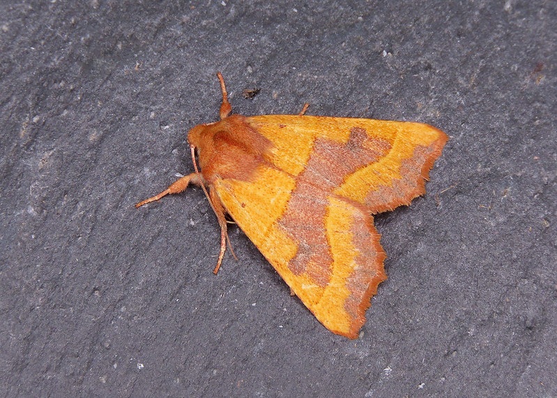 73.219 Centre-barred Sallow - Atethmia centrago