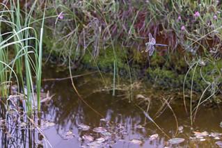Emperor Dragonfly in habitat