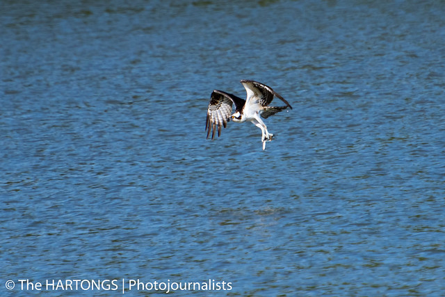 hartong-osprey3253