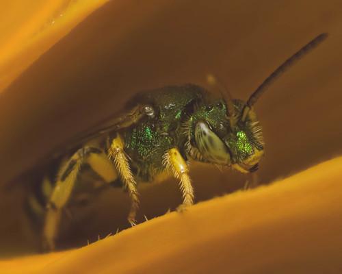 Sweat bee – Halicictidae