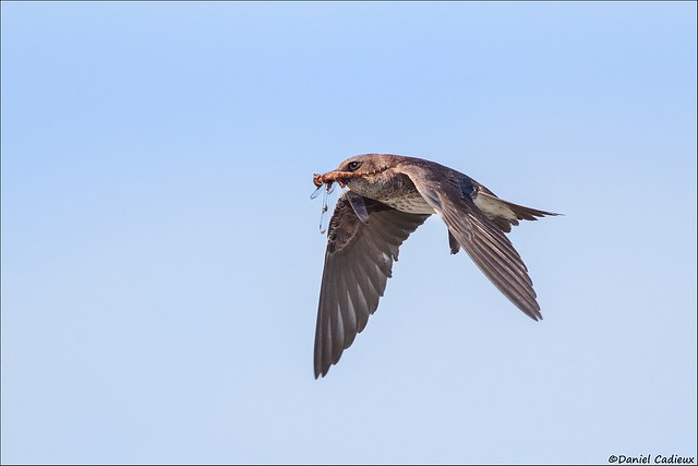 Purple Martin With Breakfast
