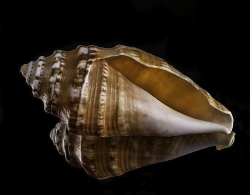shell seashell backlit backlighting blackbackground reflection offcameraflash mirror homestudio glowing nature naturalbeauty macrolens yongnuo yongnuorf603n tripod