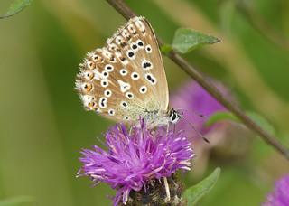 Chalkhill Blue (Polyommatus coridon)