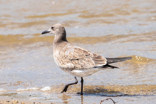 birds bantam clermontcounty eastforkstatepark juvenile laughinggull ohio unitedstatesofamerica gull