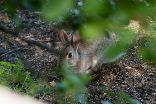 Rabbit peeping out, Mary Arden's Farm