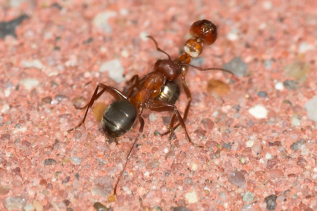 Ant with Dead Comrade