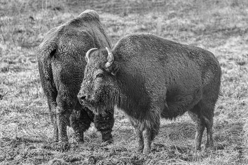 Buffalo at Cumberland Gap (Explored)