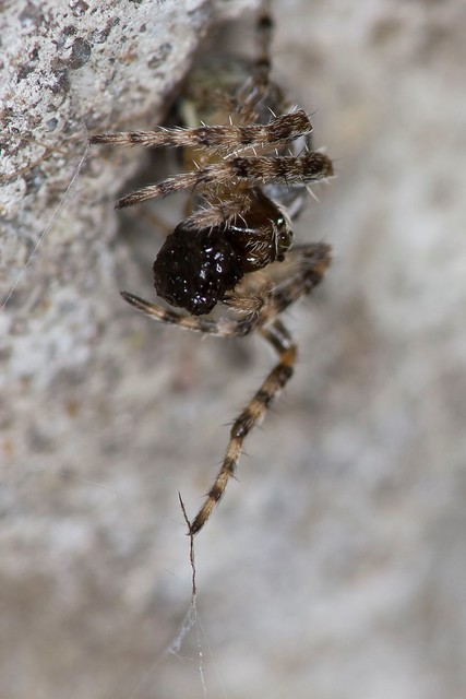 Orb Weaver Spider finishing a meal