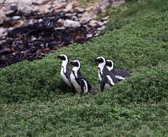Four little penguins