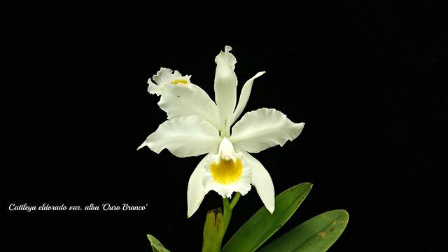 Cattleya eldorado var. alba 'Oro Branca' x self