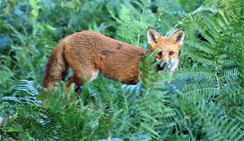 FOX  EXPLORED