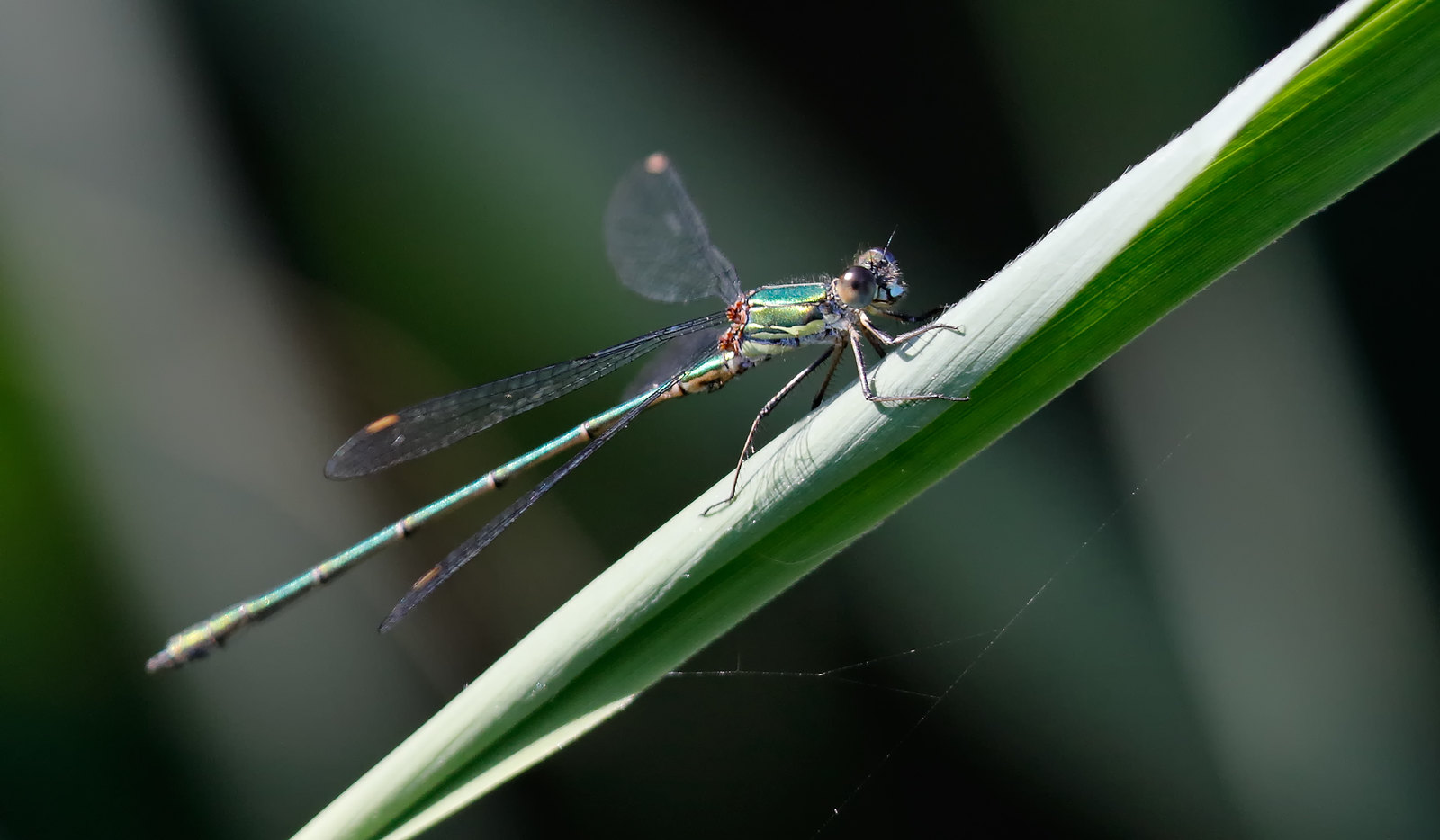 Willow? Emerald Damselfly