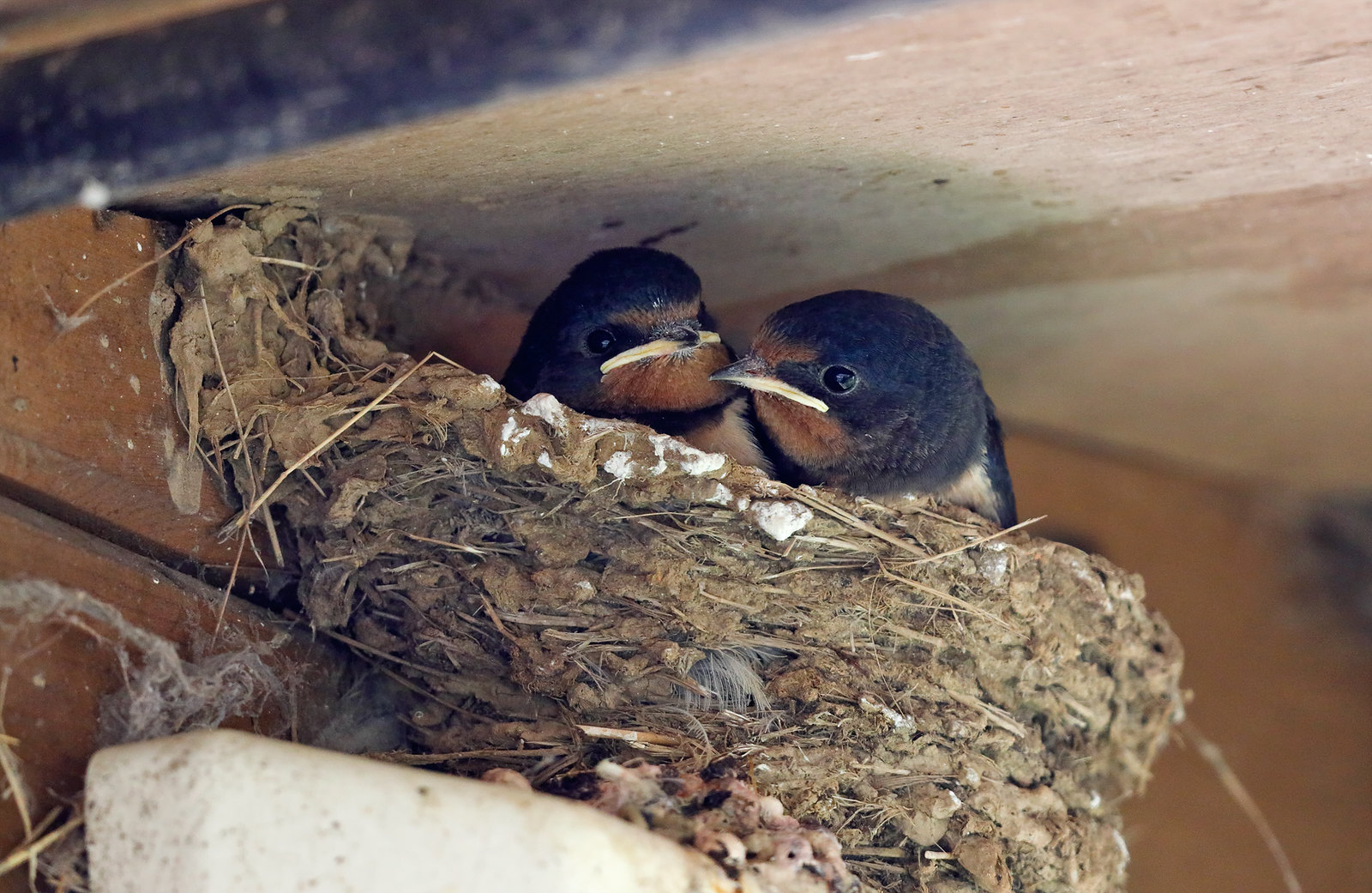More Swallows this year...
