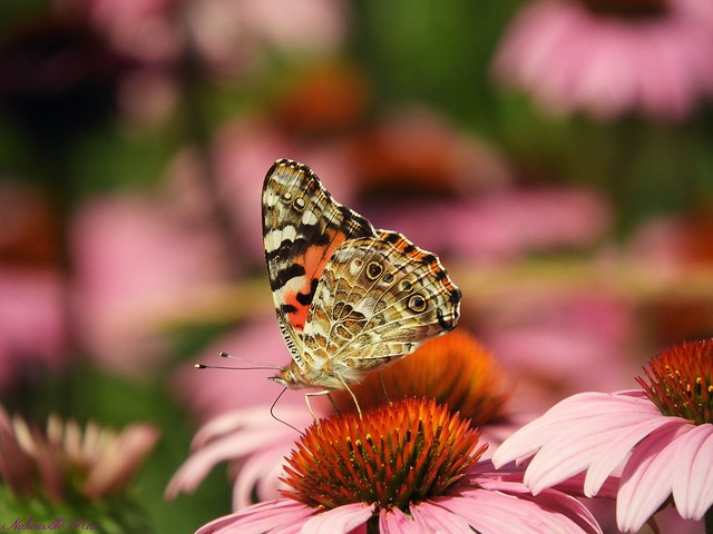 Painted lady in pink
