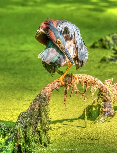 Twisted Green Heron