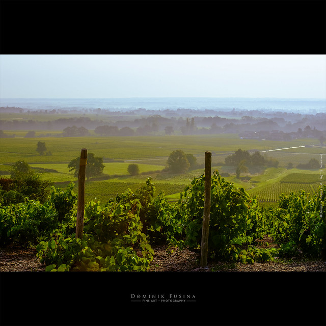 Vines in Beaujolais at the sunrise | Fleurie / Morgon