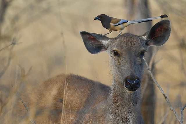 Sambar with Rufous Treepie