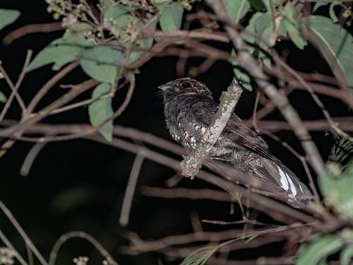 Silky-tailed Nightjar/Bacurau-rabo-de-seda/Chotacabras Coladeseda (Antrostomus sericocaudatus)
