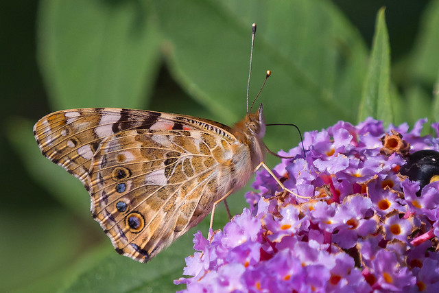 Painted Lady.......
