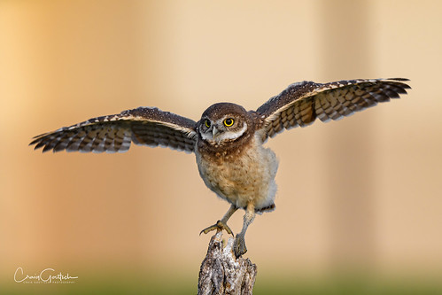 burrowingowls capecoral owl owlet chick bird avian nature wildlife nikon d500