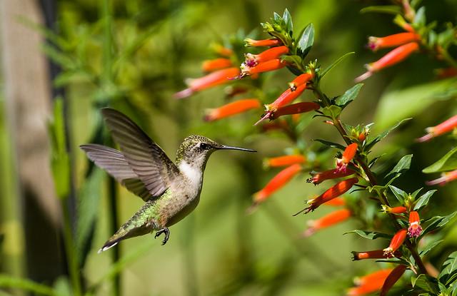 0P7A4294 Ruby-throated Hummingbird , Canada