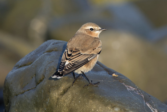 Wheatear Hermitage Louth