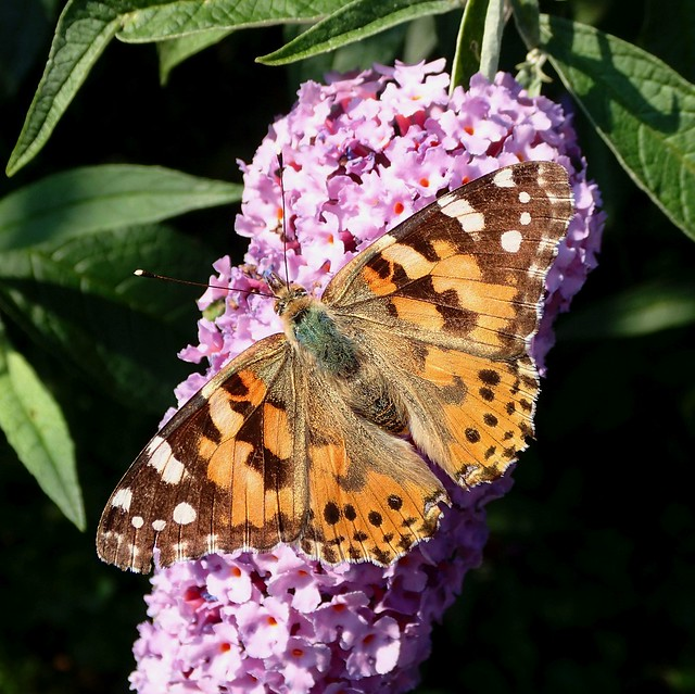 Vigil Alive. Vanessa cardui, Painted Lady Butterfly, on Butterfly Bush, Buddleia, Gaasperplaspark, Amsterdam, The Netherlands