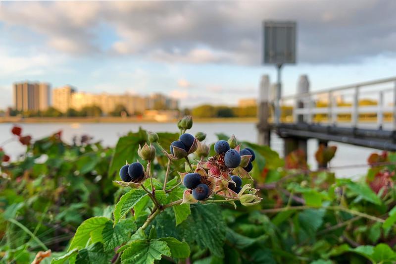 Rotterdam - Dewberry