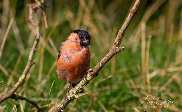 Im a Young Bullfinch :)