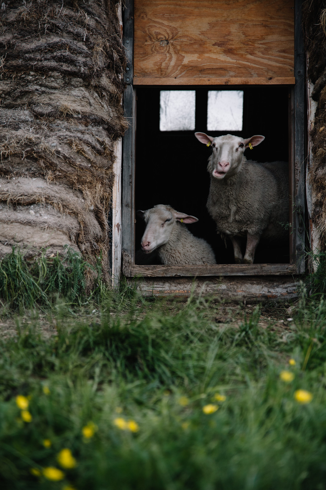 Lammaspaimen viikot