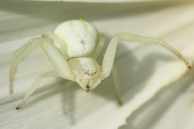 White Crab Spider (Misumena Vatia) in Crescent Garden, Gosport, UK