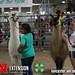 2019 Super Fair 4-H Llama Alpaca - 93