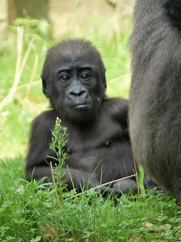 Westafrikanischer Gorilla